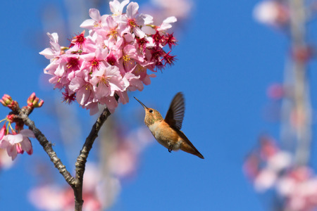 Hummingbird feeding on cherry blossom tree photo