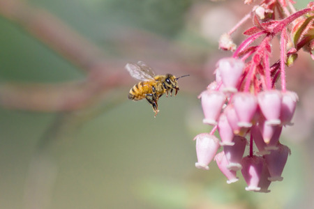 Honeybee flying to manzanita flower  Stock Photo