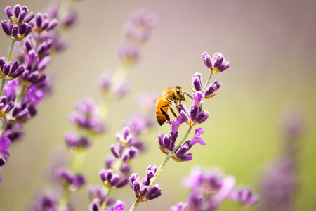 Honeybee on lavender flower  photo