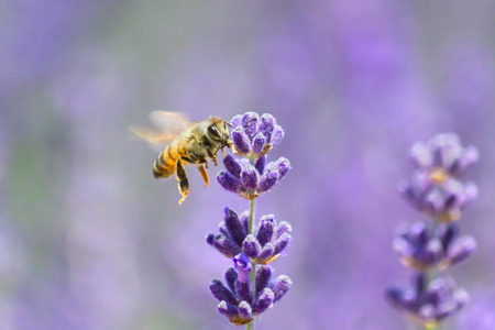 Honeybee flying to lavender flower
