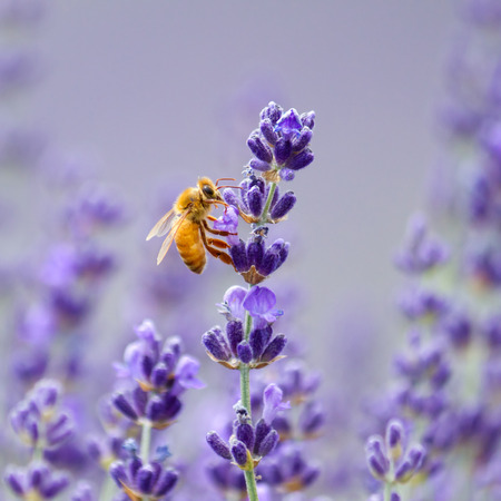 Orange bee enjoying lavender flower  Stock Photo