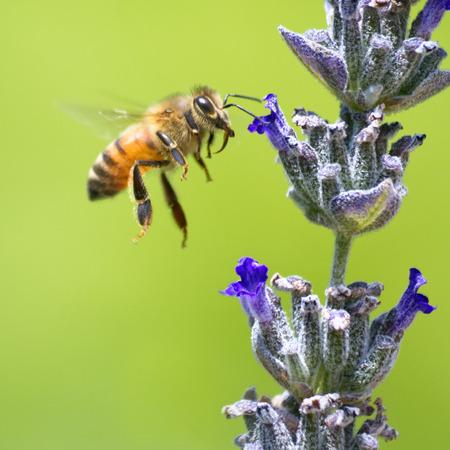 hovering: Honeybee flying to lavender flower