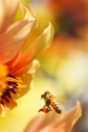 Honeybee flying to orange dahlia flower Stock Photo