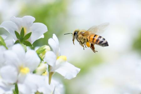 Honeybee flying to white Nemesia flower Stock Photo