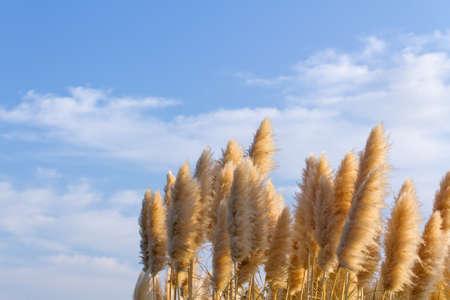 Pampas grass in blue sky