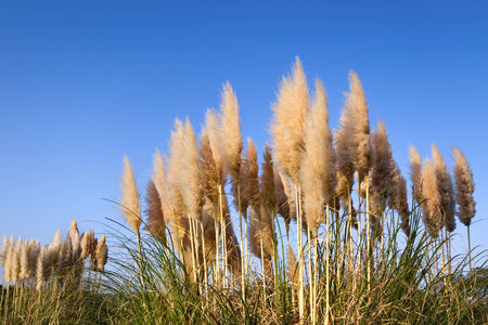 the pampas: Pampas grass in blue sky