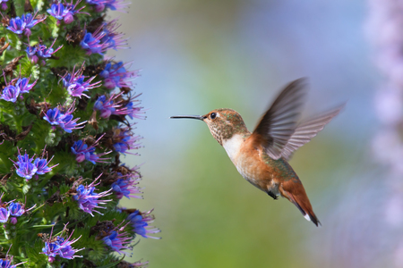 hovering: Hummingbird flying to pride of madeira flower