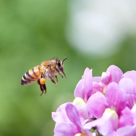 macro flowers: Honeybee flying to pink nemesia flower