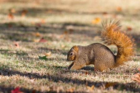 burying: Squirrel burying nuts in fall in preparation for winter. Stock Photo