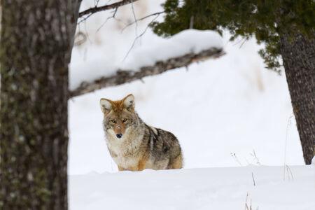 Coyote en invierno en el parque nacional de Yellowstone.