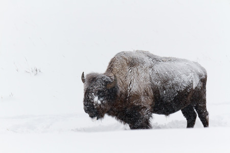 Buffalo standing in snow, Yellowstone National Park.