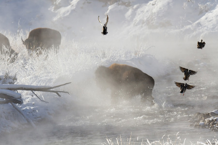 Buffalo crossing steaming river with splash, Yellowstone National Park, MT. Stock Photo