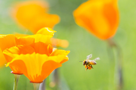 Honey bee collecting pollen from California golden poppies Stock Photo