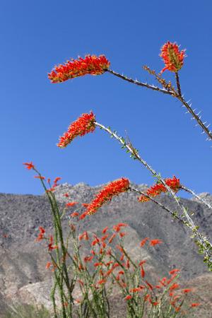 ocotillo: Ocotillo flower in bloom, Anza Borrego Desert State Park, CA
