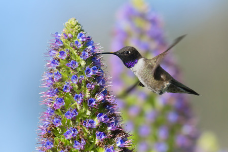 Black-chinned Hummingbird flying to Pride of Madeira flower. Stock Photo