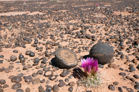 iron oxide: Moqui Marbles Iron Oxide Concretions from Navajo Sandstone and Cactus flower Grand StaircaseEscalante National Monument UT. Stock Photo