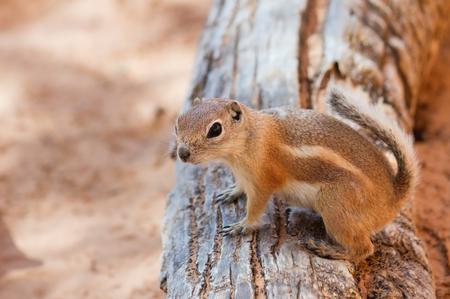 canyonlands: Antelope Squirrel in Canyonlands National Park UT