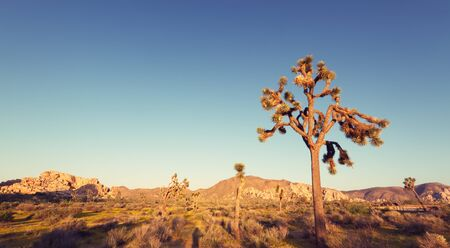 joshua tree national park: Joshua Tree National Park at sunset with vintage effect. Stock Photo