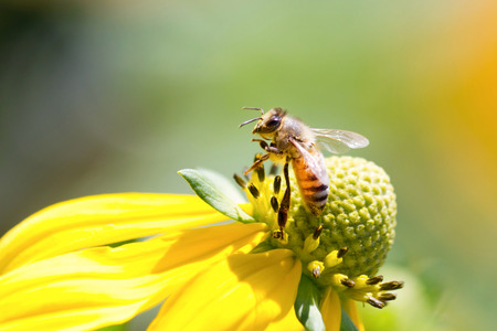 beneficial insect: Honeybee on Yellow Rudbeckia Flower Stock Photo