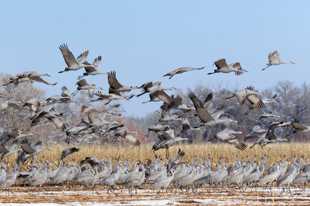 Flock of Sandhill Cranes in the snow-covered corn field, Bernardo wildlife Area near Socorro, New Mexico Stok Fotoğraf - 52076008