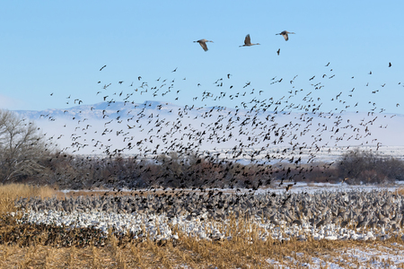Flock of Birds - Ducks, Snow Geese, Sandhill Cranes and Red-winged blackbirds in the corn field, Bernardo Wildlife Area near Socorro, New Mexico. Stock Photo