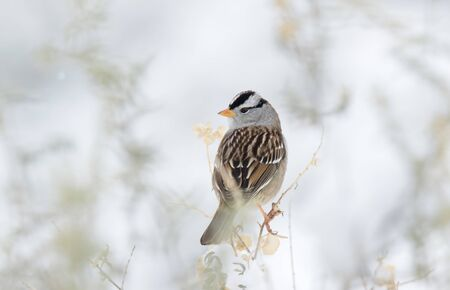 apache: White Crowned Sparrow in Snow, Bosque Del Apache National Wildlife Refuge, New Mexico Stock Photo