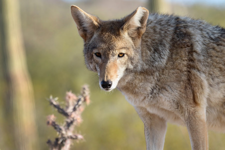 Coyote staring in desert background