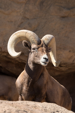 Male desert bighorn sheep on rock in sonoran desert, AZ Standard-Bild
