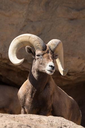 Male desert bighorn sheep on rock in sonoran desert, AZ Stock Photo