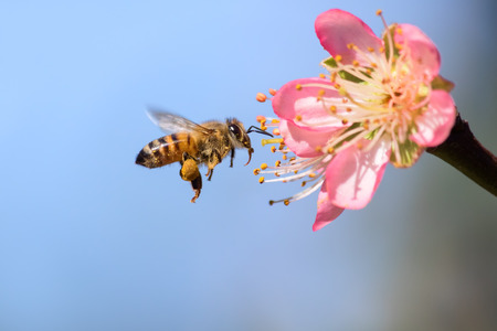 Honeybee flying to desert gold peach flower in spring
