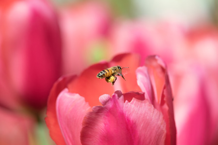 beneficial insect: Honeybee with pollen basket flying to red tulip flower
