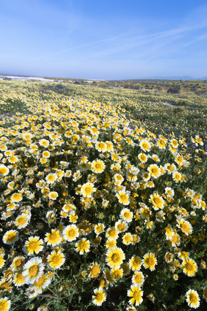 tidy: Tidy Tips blooming in Spring, Carrizo Plain National Monument, California Stock Photo