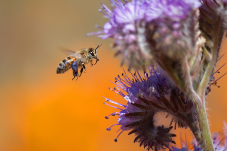 pollinator: Honeybee flying to Purple Tansy Flower Stock Photo