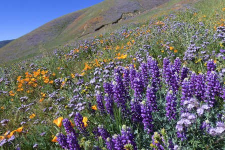 mohave: Lupine, California Golden Poppy and Purple Tansy are blooming at Elizabeth Lake near Antelope Valley, CA Stock Photo