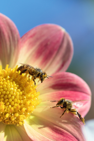 beneficial insect: Two honeybees collecting pollen on dahlia flower