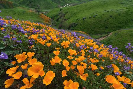 California Golden Poppy and Phacelia Minor blooming in Chino Hills State Park, California Imagens - 73761019