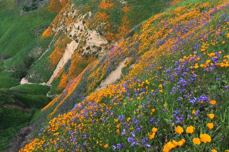 Papavero della California e Phacelia Minore di fioritura a Chino Hills State Park, California