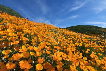 California Golde Poppy blooming in Walker Canyon, Lake Elsinore, CA Stock Photo