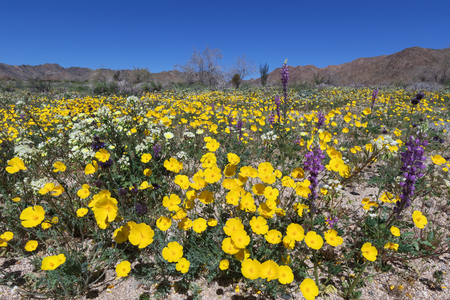 Parishs poppy, lupine, and other wildflower blooming in Joshua Tree National Park, CA Stock Photo