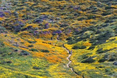 riverside county: Wildflower blooming along the flower trail, Diamond Valley Lake, CA Stock Photo