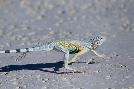 Zebra-Tailed Lizard running in Mohave desert near Amboy, California Stock fotó - 82366515