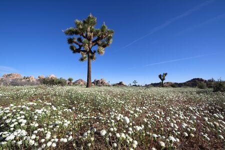 Desert Pincushion flower blooming in Joshua Tree National Park, CA Stock Photo