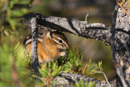 Least chipmunk eating nuts on a tree, Yellowstone National Park