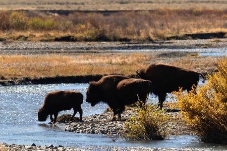 Bison family crossing river in Lamar Valley, Yellowstone National Park 版權商用圖片 - 90700958
