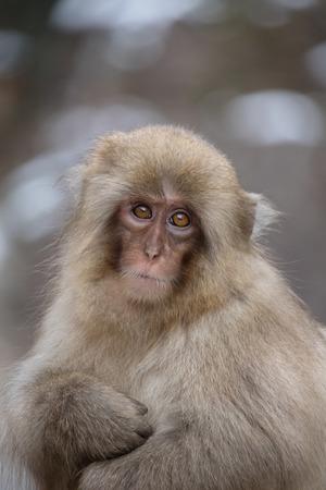 Snow monkey child at Jigokudani Snow Monkey Park, Nagano, Japan
