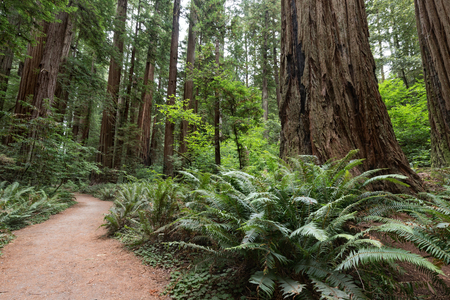 Giant Redwood Trees on Stout Grove Trail, Jedediah Smith Redwoods State Park, CA Banco de Imagens