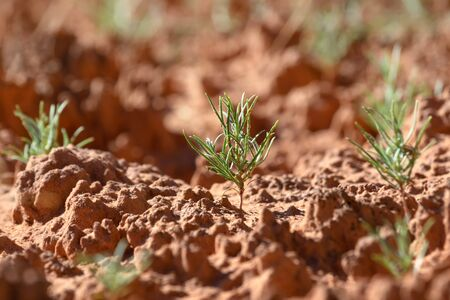 Green plant germinating on the biological soil crust, Canyonlands National Park, UT