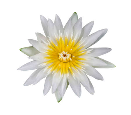 water lily white in isolated white background photo