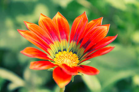 Red Green Purple And Yellow In The Center Color Gazania Flower On Garden Blur Background