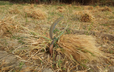 Beawar, Rajasthan, India, March 16, 2021: Barley crop in the field on the outskirts of Beawar. Rajasthan is major producer state of barley crop in India. Photo: Sumit Saraswat
